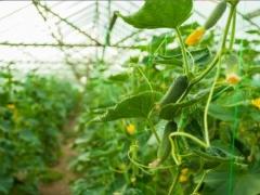 Komplektas augalų parišimui ilgas
